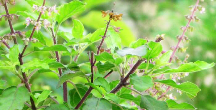 Photo of Health Benefits of Basil (Tulsi)