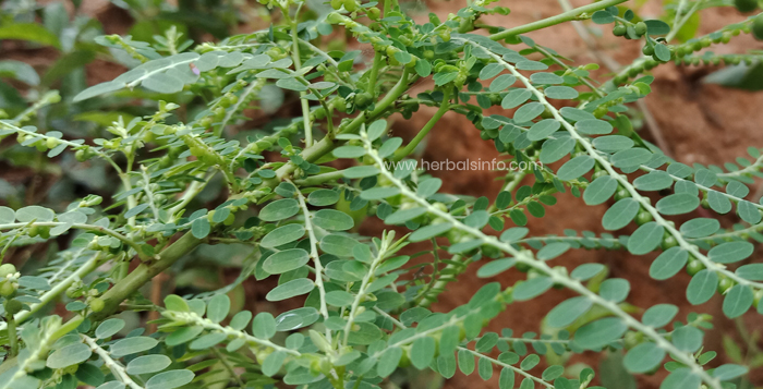 Photo of Phyllanthus Niruri Medicinal Benefits